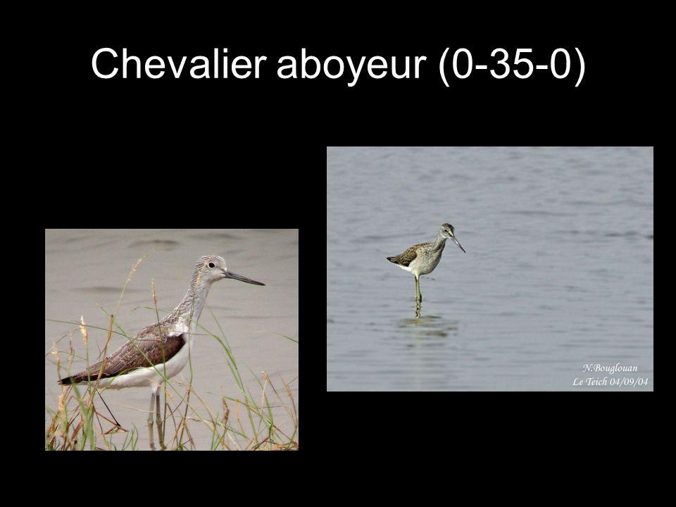 Chevalier aboyeur (0-35-0)