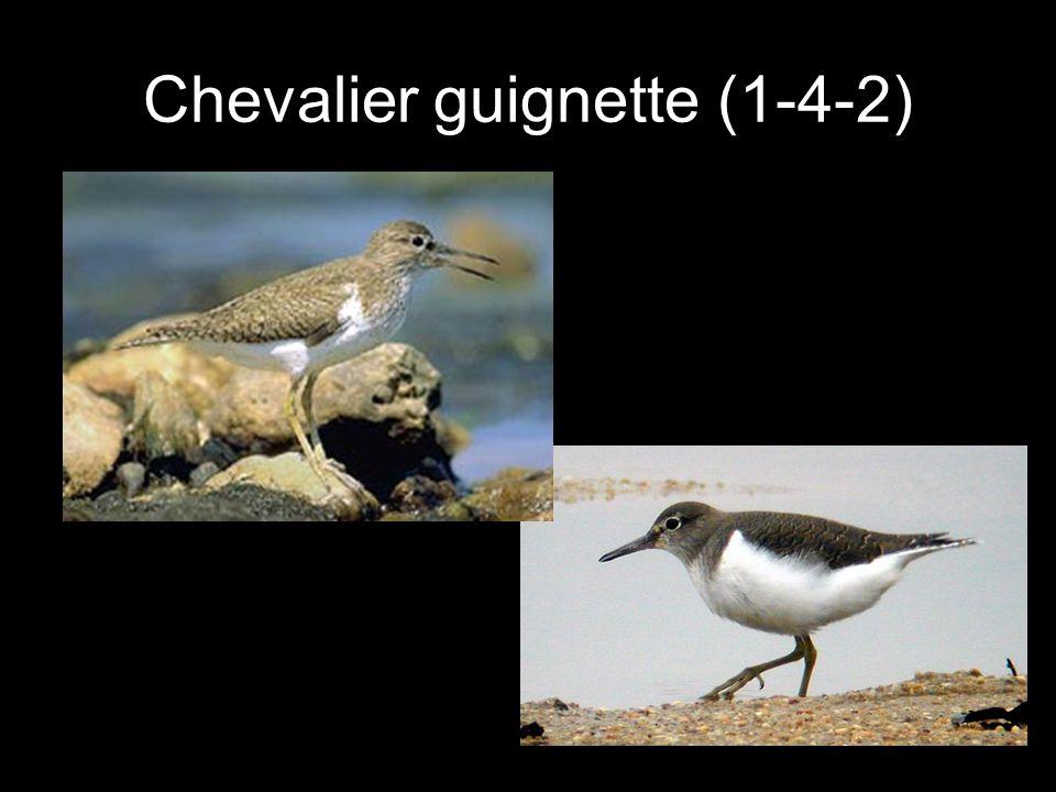 Chevalier guignette (1-4-2)