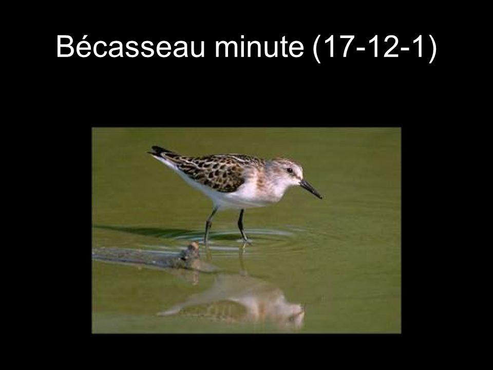 Bécasseau minute (17-12-1)