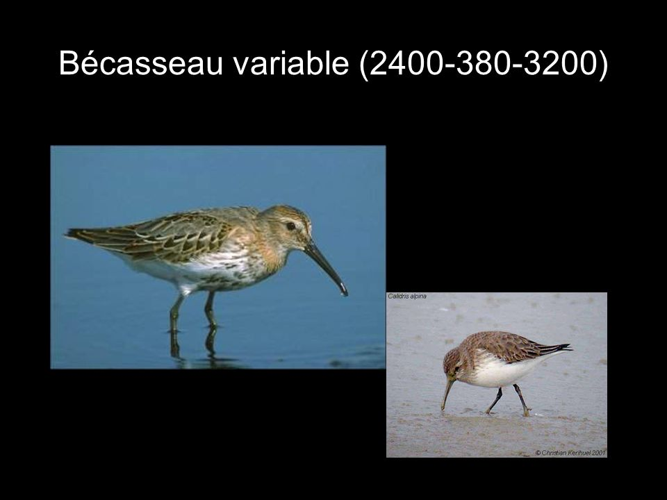 Bécasseau variable (2400-380-3200)