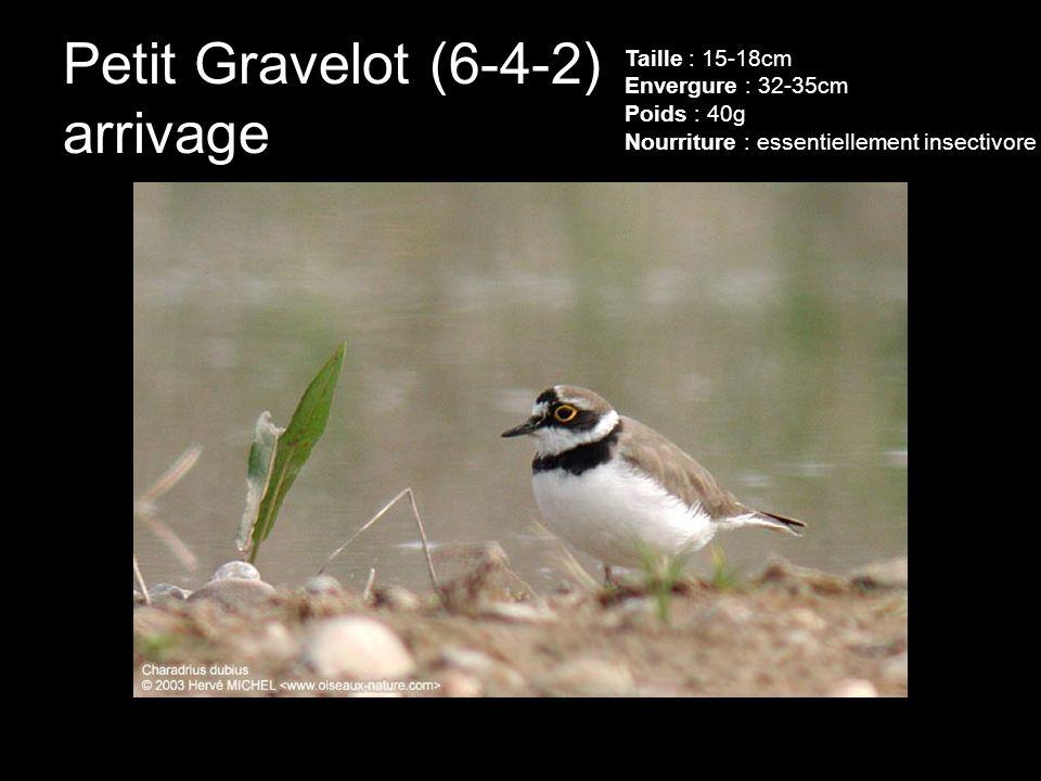 Petit Gravelot (6-4-2) arrivage Taille : 15-18cm Envergure : 32-35cm Poids : 40g Nourriture : essentiellement insectivore