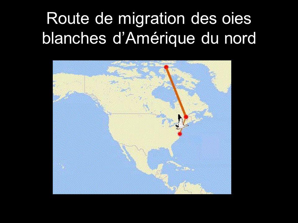 Route de migration des oies blanches dAmérique du nord