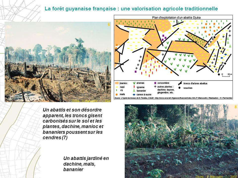 Un abattis et son désordre apparent, les troncs gisent carbonisés sur le sol et les plantes, dachine, manioc et bananiers poussent sur les cendres (7)