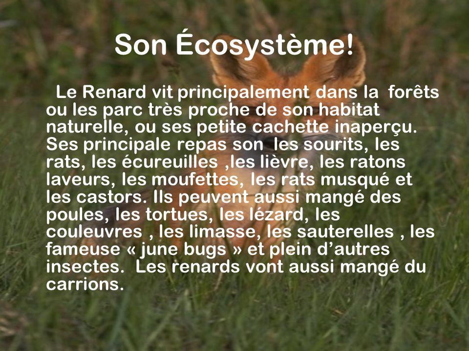 Son Écosystème! Le Renard vit principalement dans la forêts ou les parc très proche de son habitat naturelle, ou ses petite cachette inaperçu. Ses pri