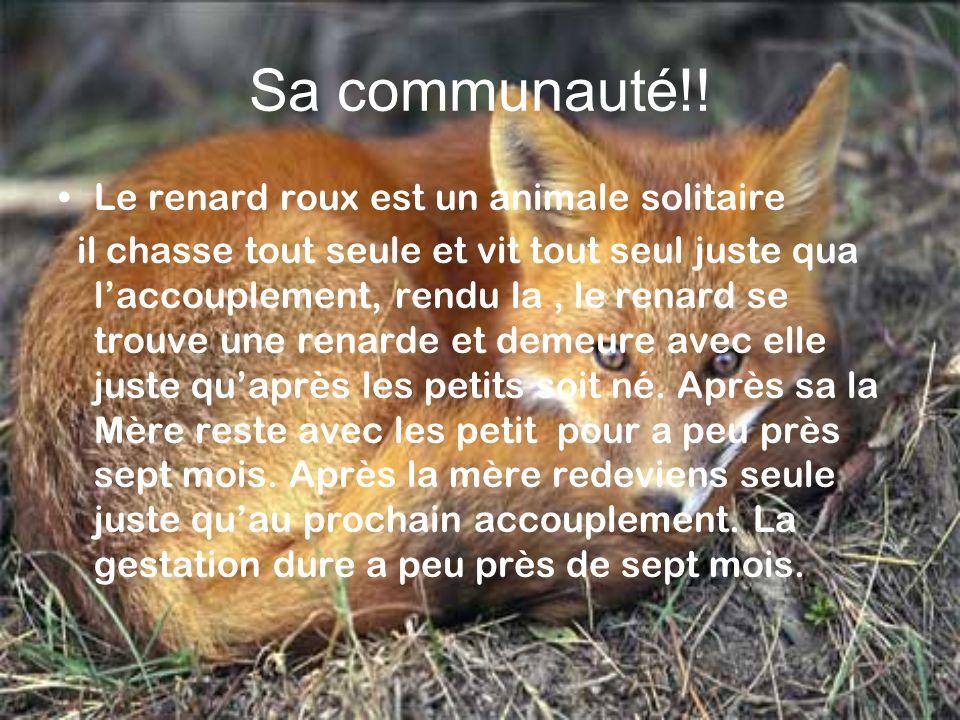 Sa communauté!! Le renard roux est un animale solitaire il chasse tout seule et vit tout seul juste qua laccouplement, rendu la, le renard se trouve u