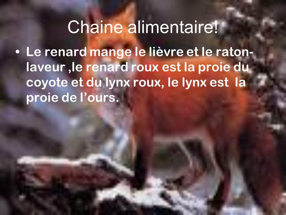 Chaine alimentaire! Le renard mange le lièvre et le raton- laveur,le renard roux est la proie du coyote et du lynx roux, le lynx est la proie de lours