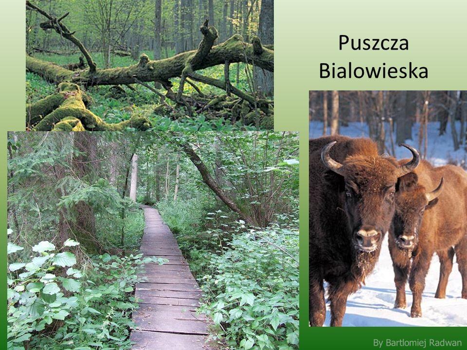 By Bartlomiej Radwan Puszcza Bialowieska