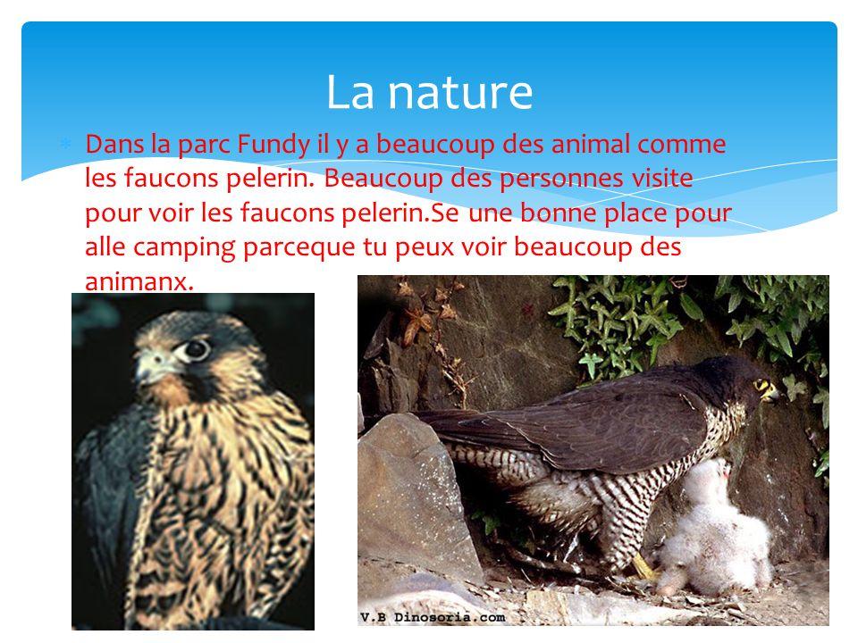 Dans la parc Fundy il y a beaucoup des animal comme les faucons pelerin.