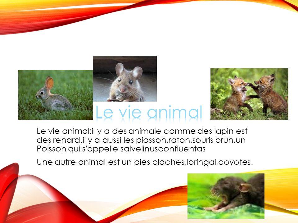 Le vie animal:il y a des animale comme des lapin est des renard.il y a aussi les piosson,raton,souris brun,un Poisson qui s appelle salvelinusconfluentas Une autre animal est un oies blaches,loringal,coyotes.