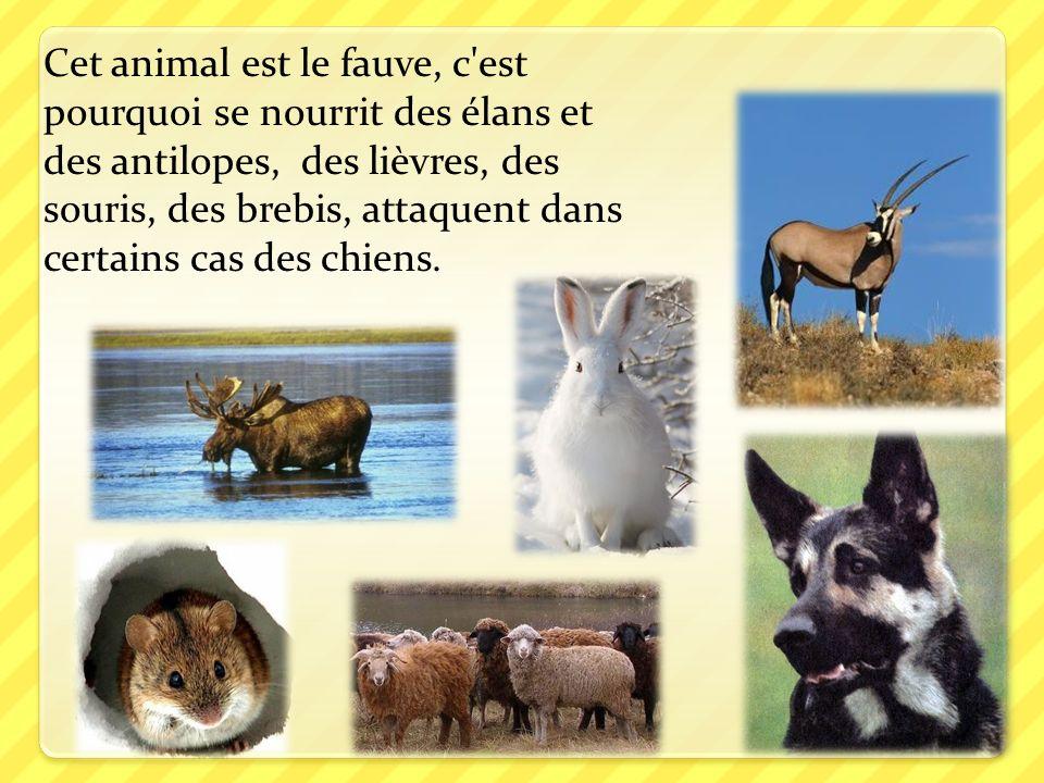 Cet animal est le fauve, c est pourquoi se nourrit des élans et des antilopes, des lièvres, des souris, des brebis, attaquent dans certains cas des chiens.