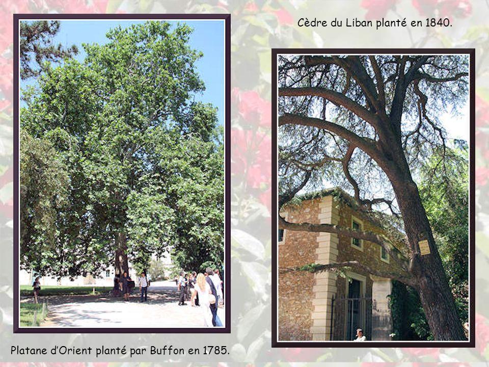 Mélia azedarach Pinus nigra, arbre historique planté en 1774 Fraxinus angustifolia