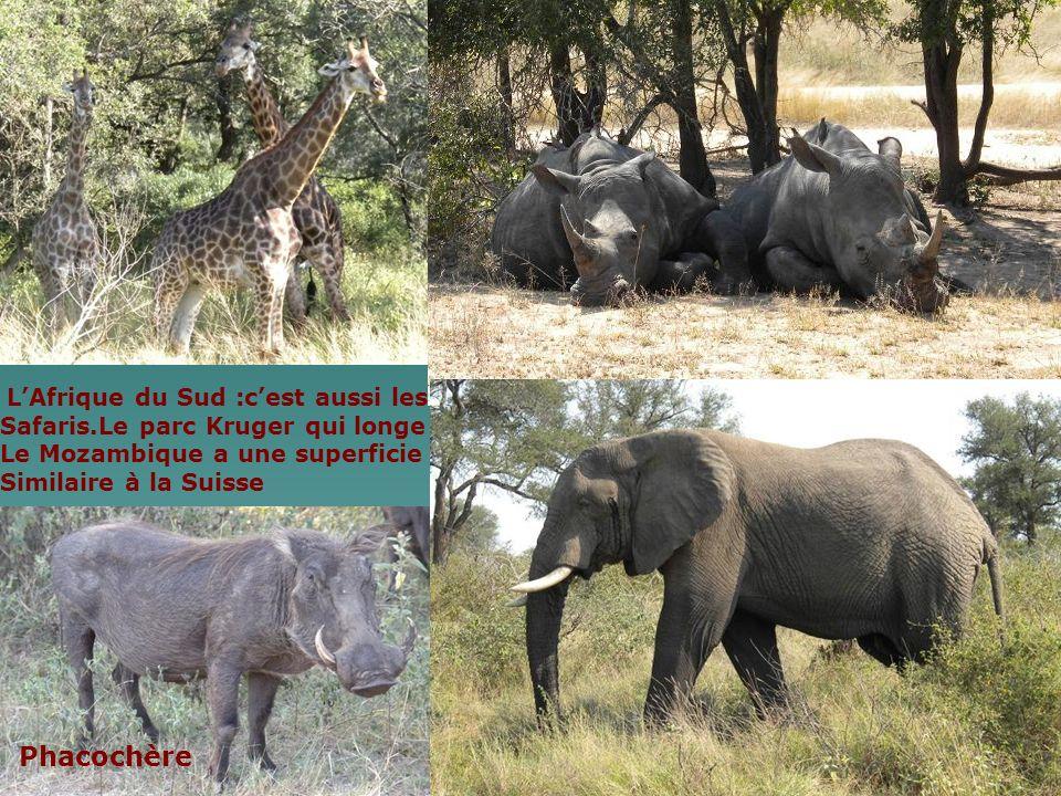 LAfrique du Sud :cest aussi les Safaris.Le parc Kruger qui longe Le Mozambique a une superficie Similaire à la Suisse Phacochère