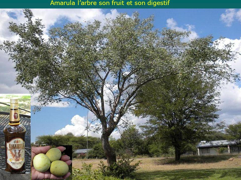 Amarula larbre son fruit et son digestif