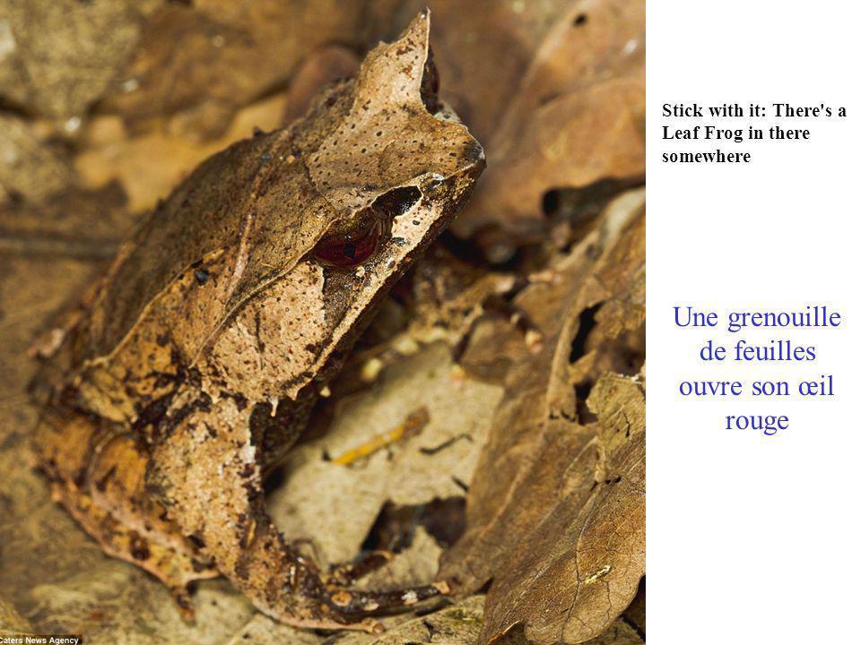 Stop mossing around: A Katydid blends into foliage in Costa Rica Au Costa-Rica : Ne pas marcher sur ce Katydid qui se confond sur le feuillage qui couvre le sol est très difficile