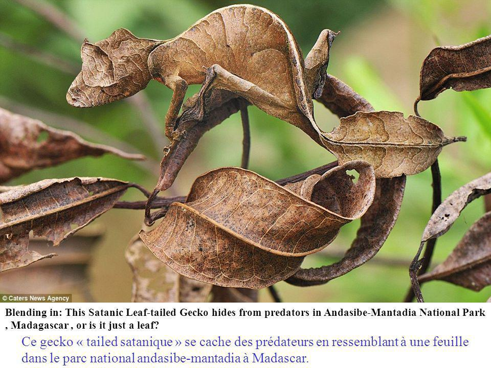 Masters of disguise: The gecko that resembles a leaf and nature s other camouflage experts Les maîtres du déguisement Le gecko qui ressemble à une feuille et dautres experts du camouflage.