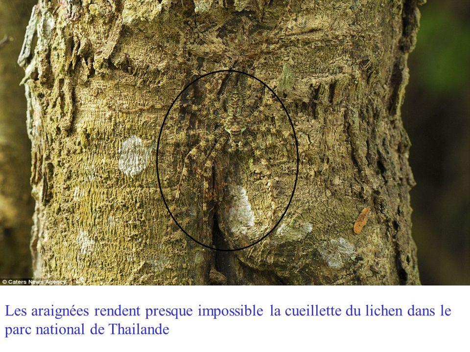 Un crapaud au visage chauve-souris se cache parmi les feuilles mortes dans le parc national amacayacu en Colombie.