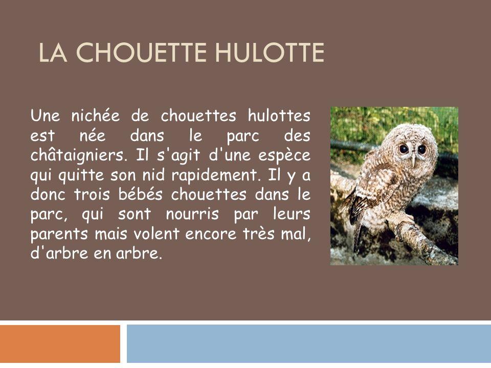 LA CHOUETTE HULOTTE Une nichée de chouettes hulottes est née dans le parc des châtaigniers. Il s'agit d'une espèce qui quitte son nid rapidement. Il y