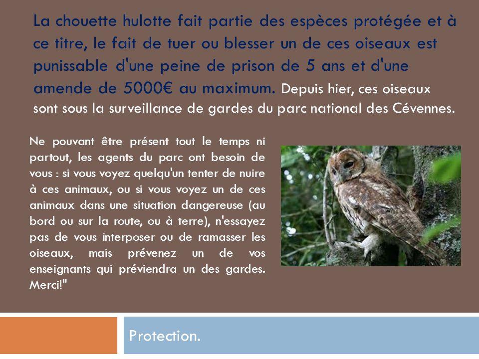 Protection. La chouette hulotte fait partie des espèces protégée et à ce titre, le fait de tuer ou blesser un de ces oiseaux est punissable d'une pein