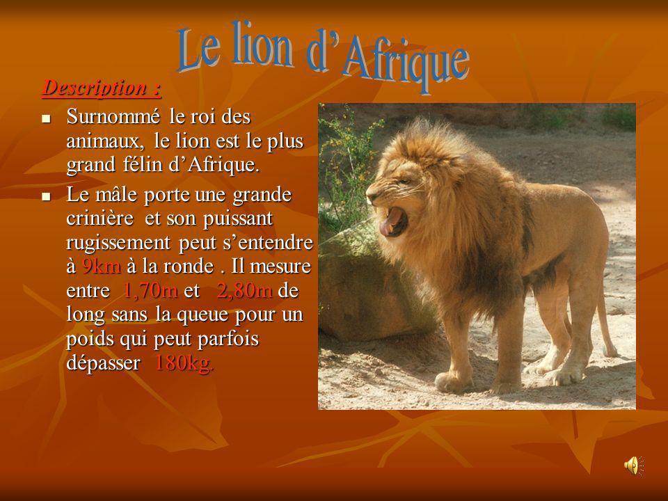 Description : Surnommé le roi des animaux, le lion est le plus grand félin dAfrique. Le mâle porte une grande crinière et son puissant rugissement peu