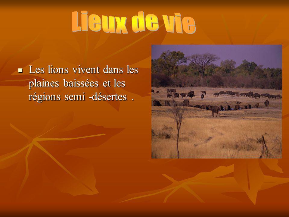 Les lions vivent dans les plaines baissées et les régions semi -désertes.