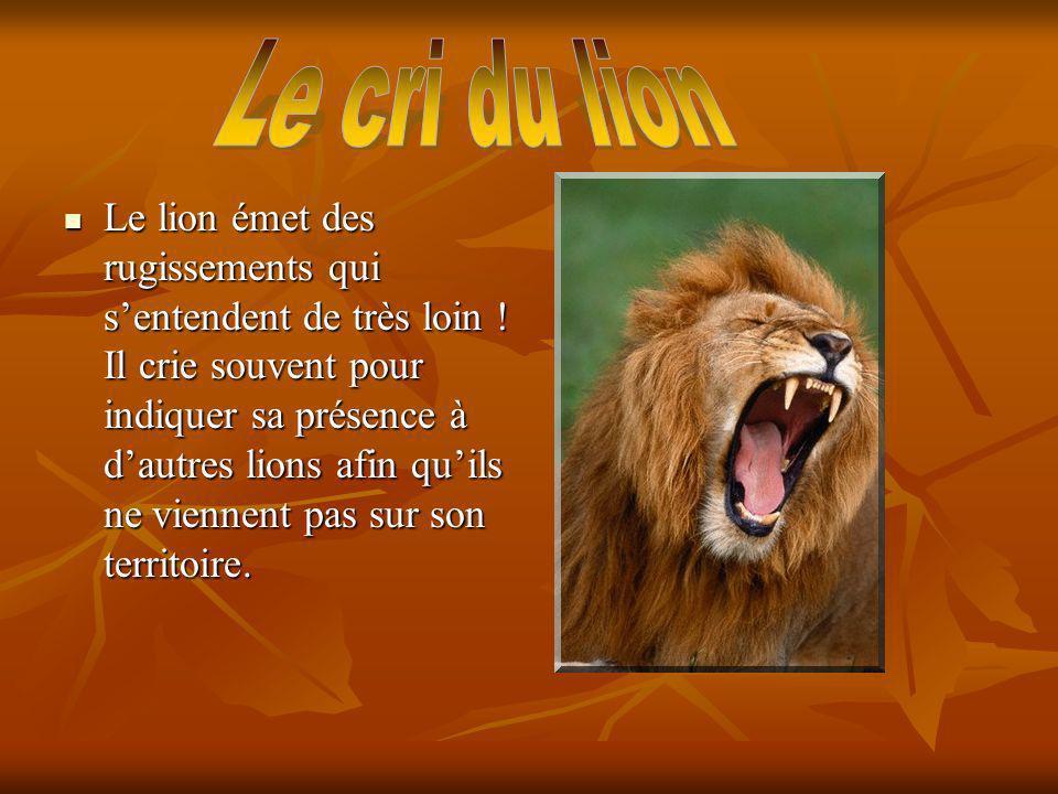 Le lion émet des rugissements qui sentendent de très loin ! Il crie souvent pour indiquer sa présence à dautres lions afin quils ne viennent pas sur s