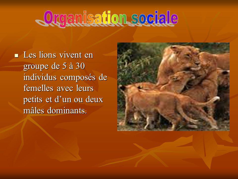 Les lions vivent en groupe de 5 à 30 individus composés de femelles avec leurs petits et dun ou deux mâles dominants.