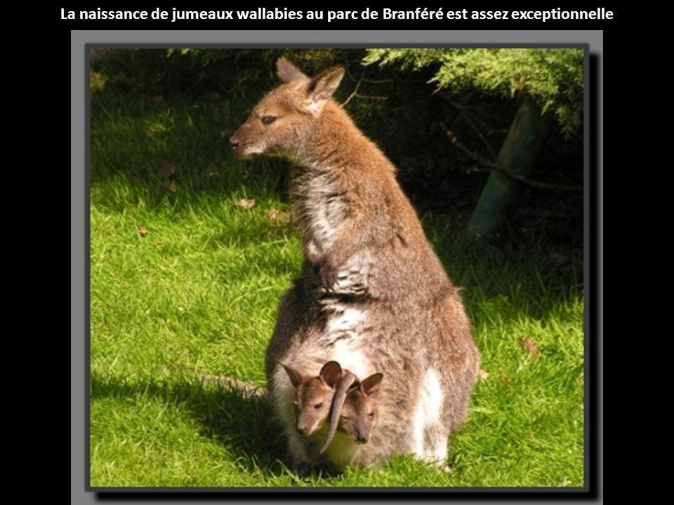 Le nyala est une antilope dont le dos est rayé de blanc et qui possède de très grandes oreilles, né au parc zoologique de Montpellier.