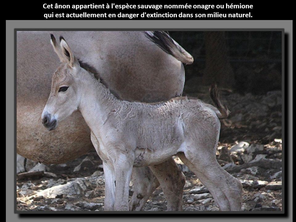 L'addax est une antilope réputée pour ses longues cornes comportant une légère torsion. Les trois bébés nés au Zoo de Montpellier ne possèdent que de