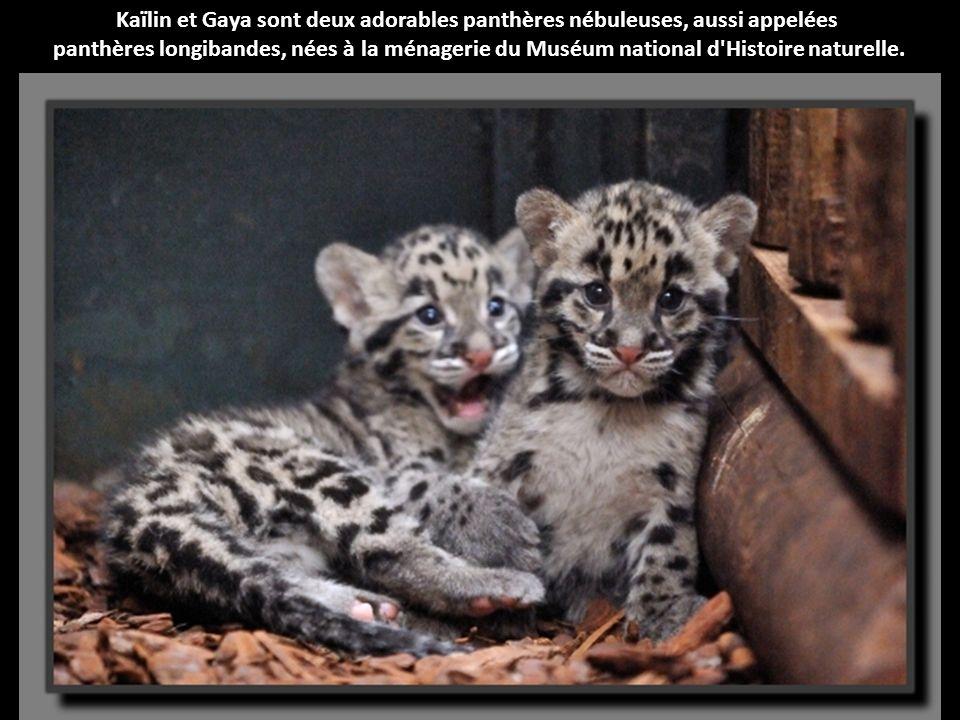 Kaïlin et Gaya sont deux adorables panthères nébuleuses, aussi appelées panthères longibandes, nées à la ménagerie du Muséum national d Histoire naturelle.