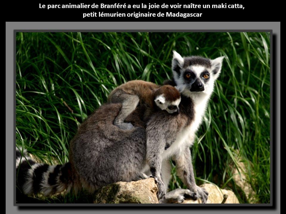 Kaïlin et Gaya sont deux adorables panthères nébuleuses, aussi appelées panthères longibandes, nées à la ménagerie du Muséum national d'Histoire natur