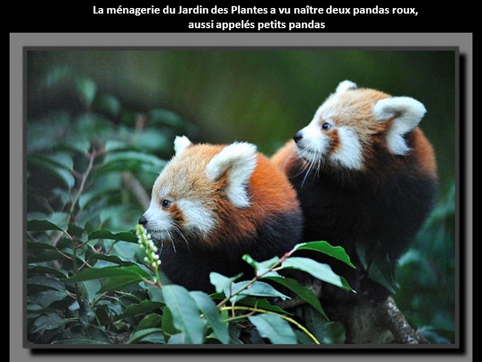 La ménagerie du Jardin des Plantes a vu naître deux pandas roux, aussi appelés petits pandas