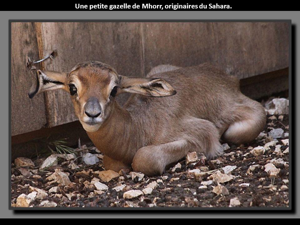 Une petite gazelle de Mhorr, originaires du Sahara.