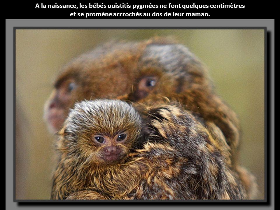 A la naissance, les bébés ouistitis pygmées ne font quelques centimètres et se promène accrochés au dos de leur maman.