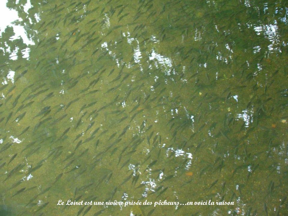 Le Loiret est une rivière prisée des pêcheurs…