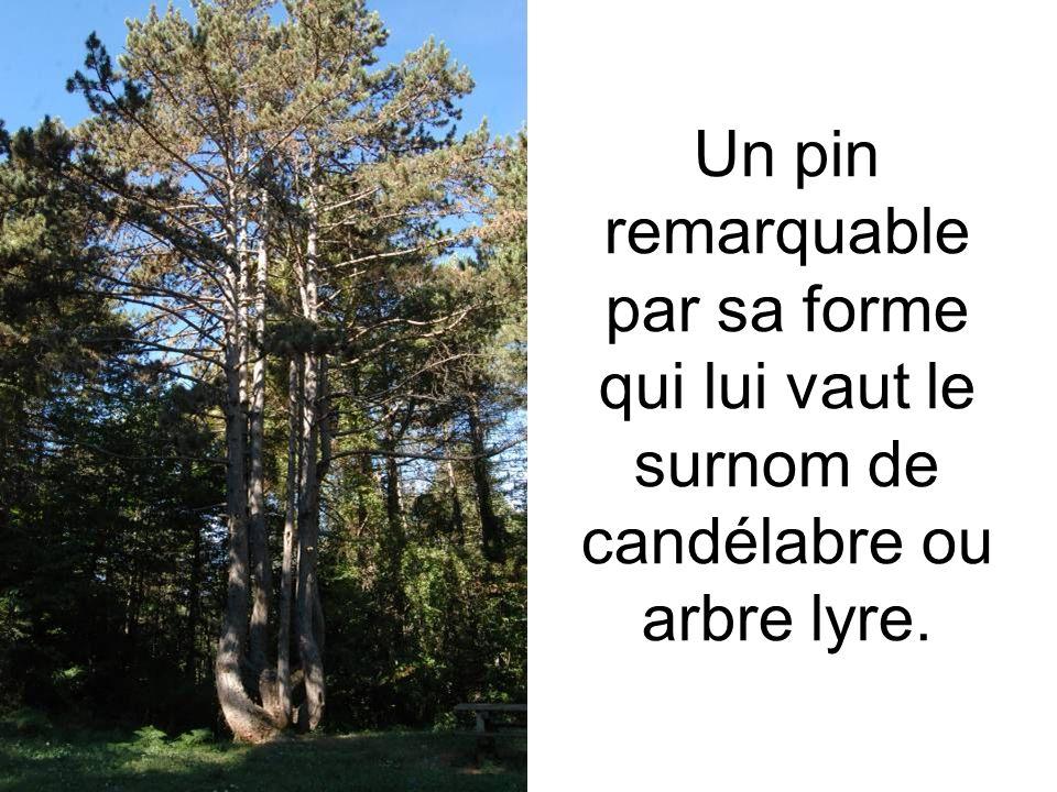 Un pin remarquable par sa forme qui lui vaut le surnom de candélabre ou arbre lyre.