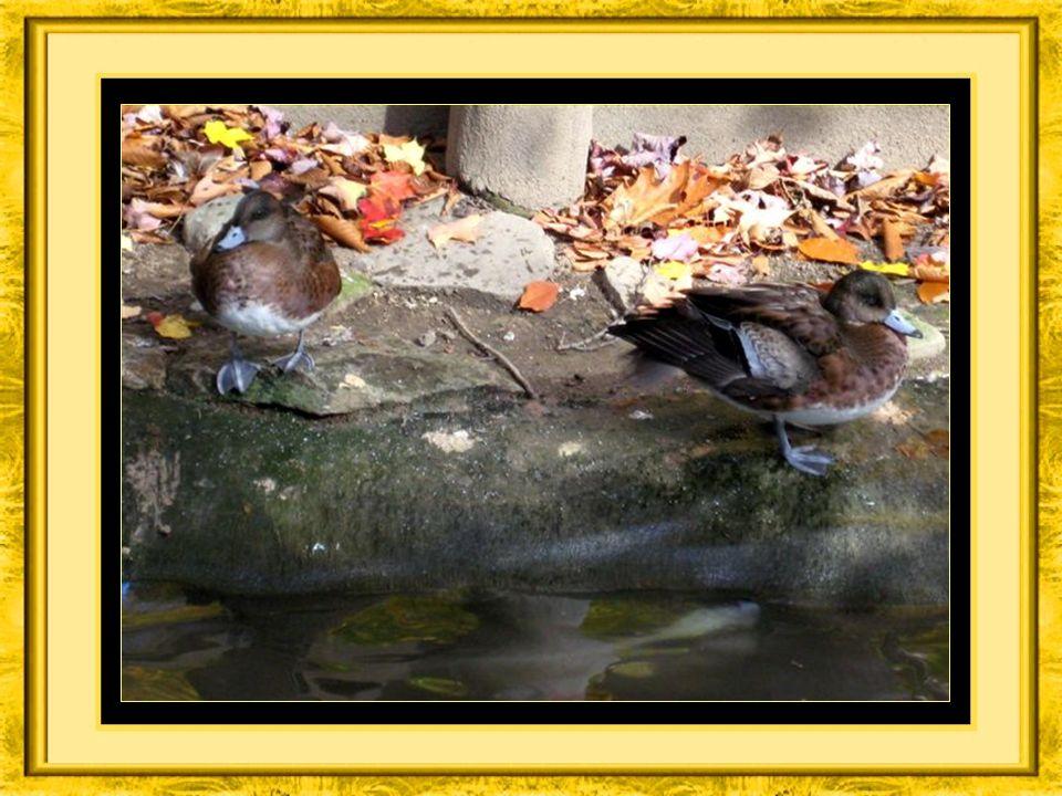 Écoutez les canards caqueter au bord de leau,