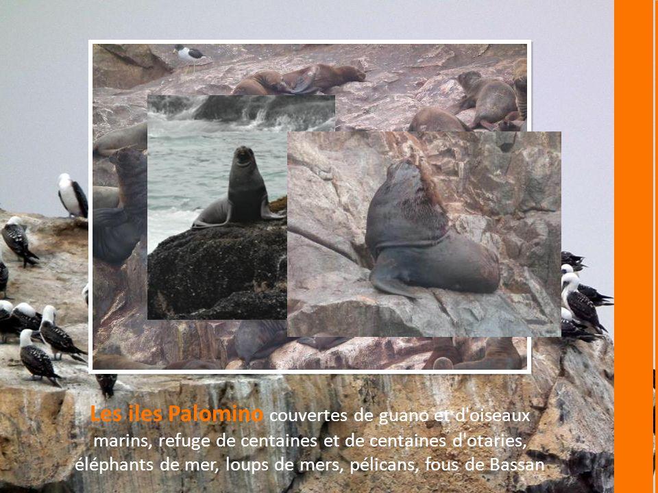 Les iles Palomino couvertes de guano et d oiseaux marins, refuge de centaines et de centaines d otaries, éléphants de mer, loups de mers, pélicans, fous de Bassan
