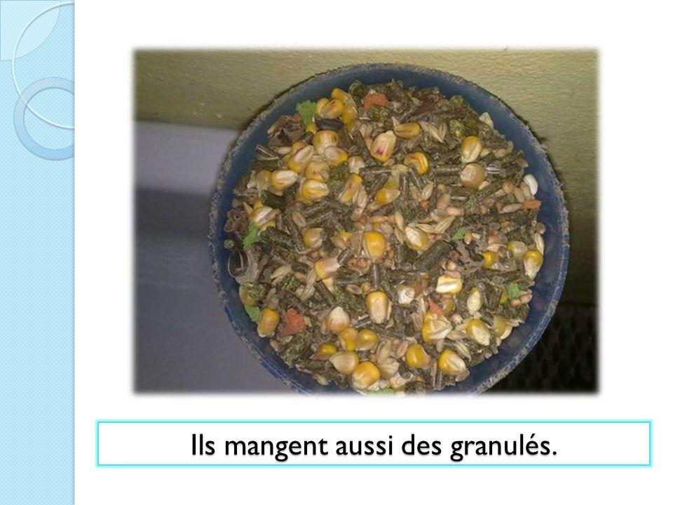 Ils mangent aussi des granulés.