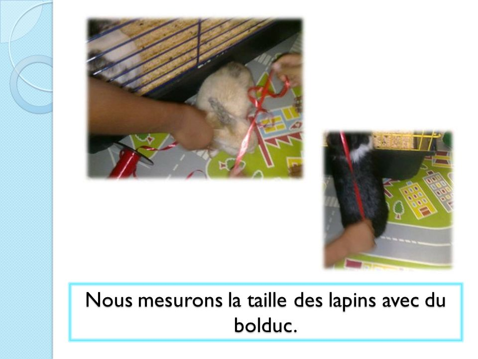 Nous mesurons la taille des lapins avec du bolduc.