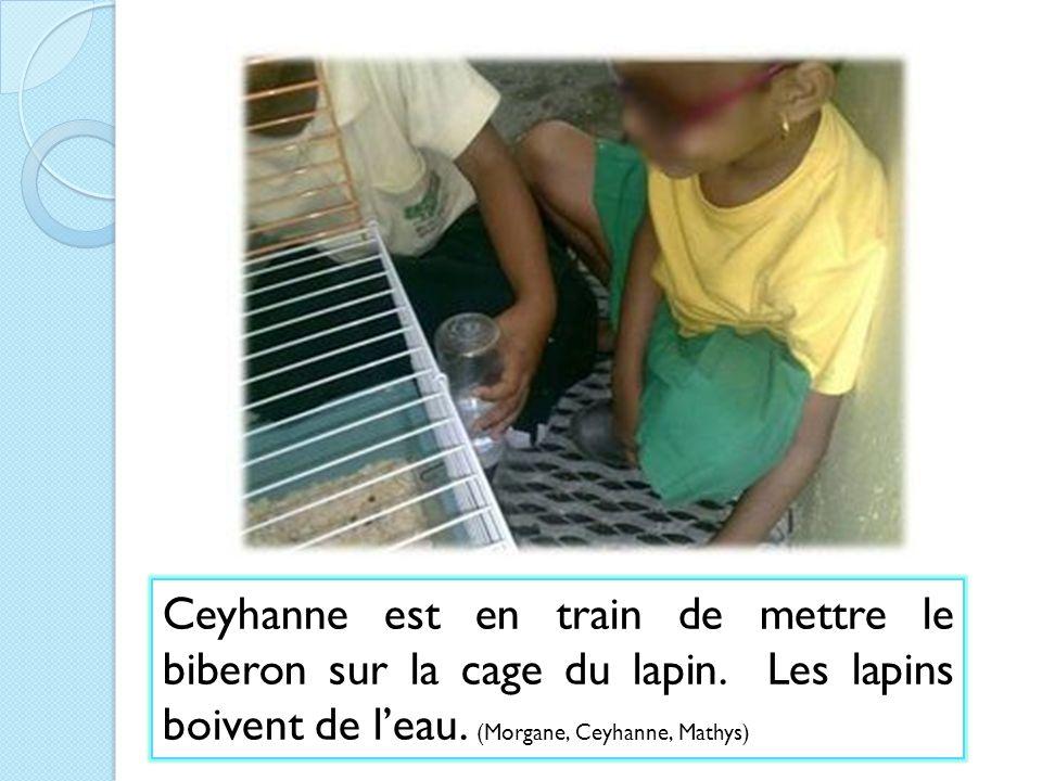 Ceyhanne est en train de mettre le biberon sur la cage du lapin. Les lapins boivent de leau. (Morgane, Ceyhanne, Mathys)