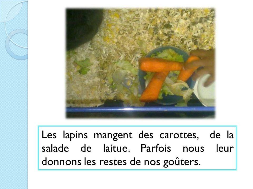 Les lapins mangent des carottes, de la salade de laitue. Parfois nous leur donnons les restes de nos goûters.