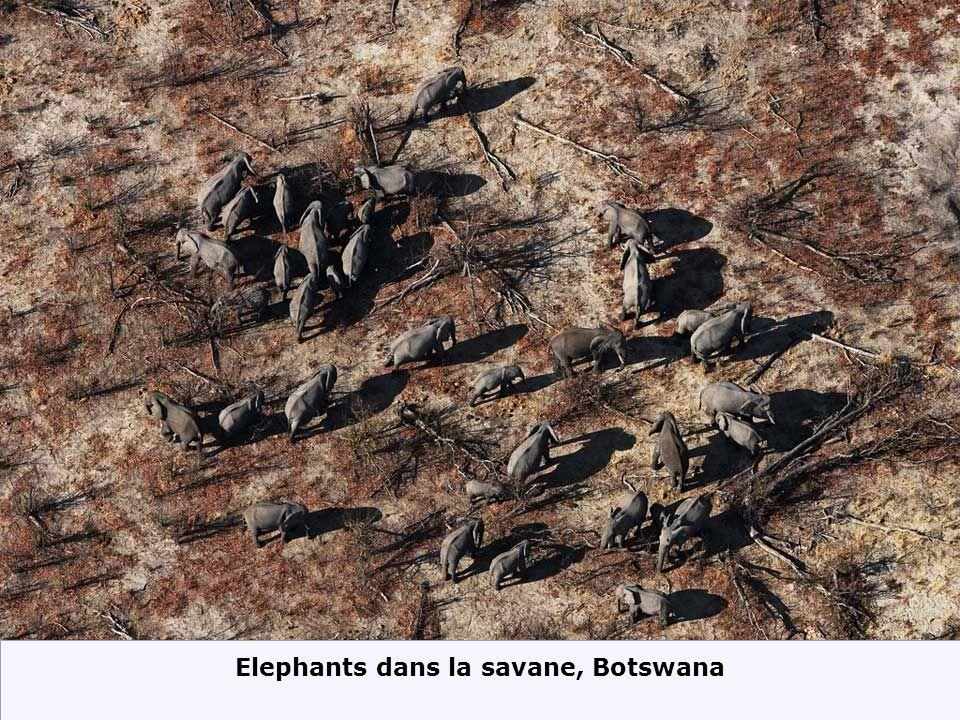 Elephants dans la savane, Botswana