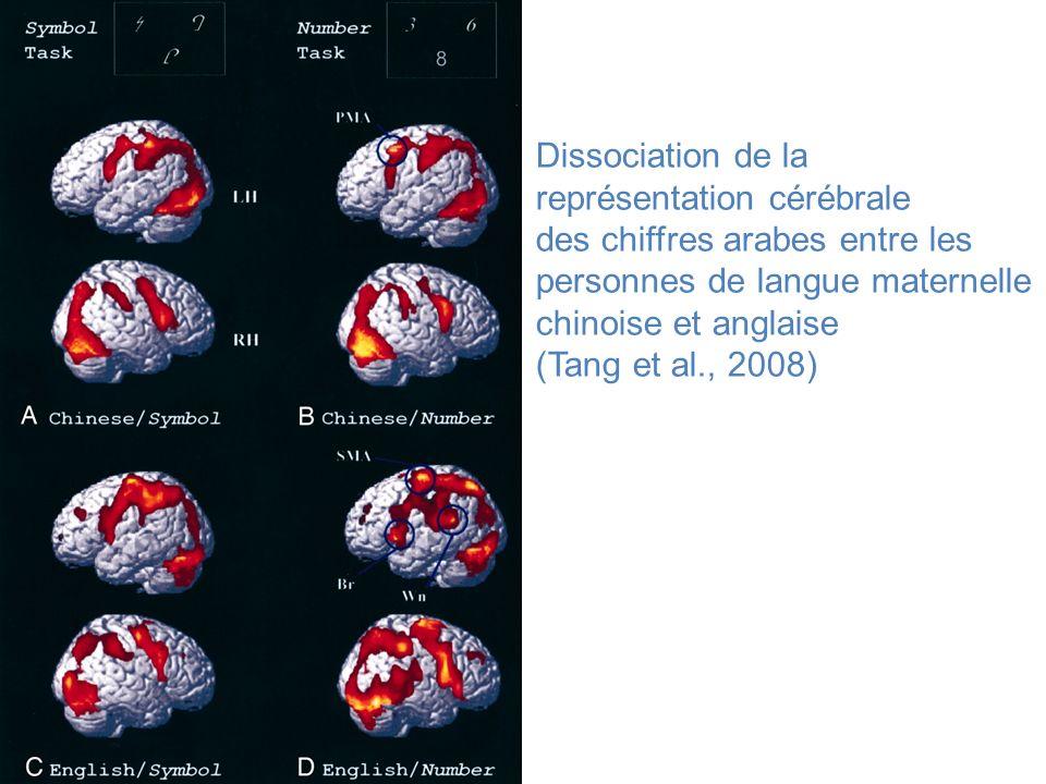 Dissociation de la représentation cérébrale des chiffres arabes entre les personnes de langue maternelle chinoise et anglaise (Tang et al., 2008)