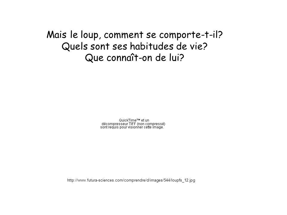 http://www.futura-sciences.com/comprendre/d/images/544/loupfs_12.jpg Mais le loup, comment se comporte-t-il? Quels sont ses habitudes de vie? Que conn