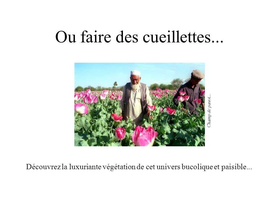 Ou faire des cueillettes... Découvrez la luxuriante végétation de cet univers bucolique et paisible... Champ de pavot...