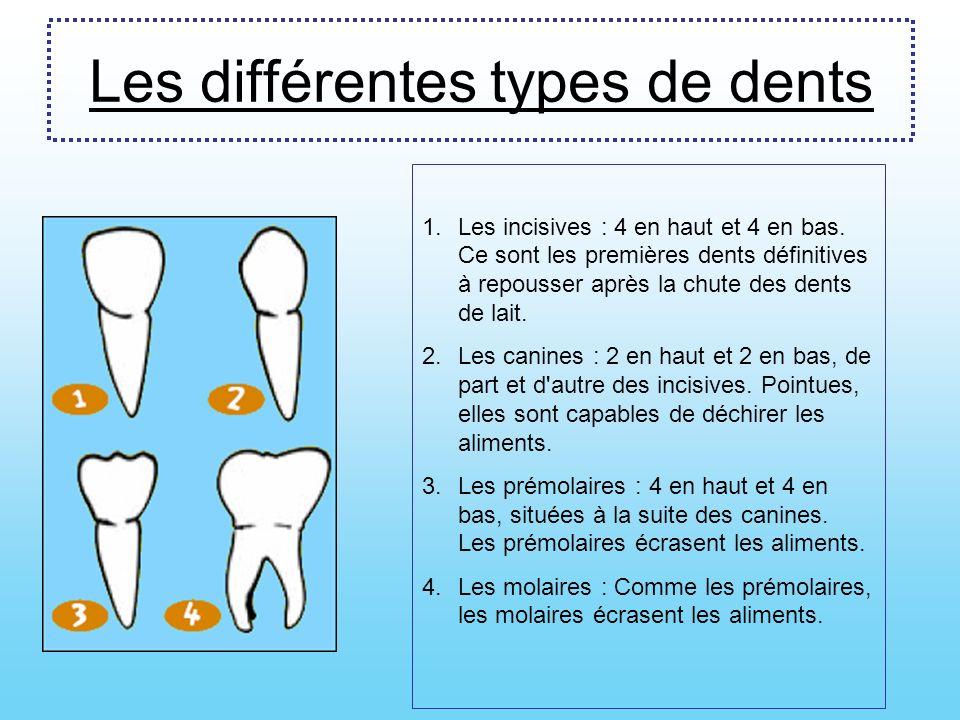 La dent Il y a plusieurs parties dans la dent, chacune jouent un rôle bien précis : La couronne La racine Lémail La dentine Los La gencive
