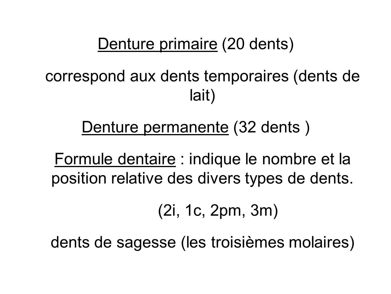 Denture primaire (20 dents) correspond aux dents temporaires (dents de lait) Denture permanente (32 dents ) Formule dentaire : indique le nombre et la position relative des divers types de dents.