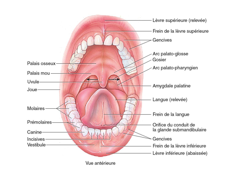 La bouche et ses organes annexes permettent : Ingestion Mastication Insalivation Déglutition Fonctions de la bouche Fig.