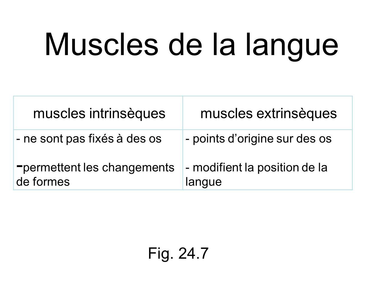 Muscles de la langue muscles intrinsèquesmuscles extrinsèques - ne sont pas fixés à des os - permettent les changements de formes - points dorigine sur des os - modifient la position de la langue Fig.