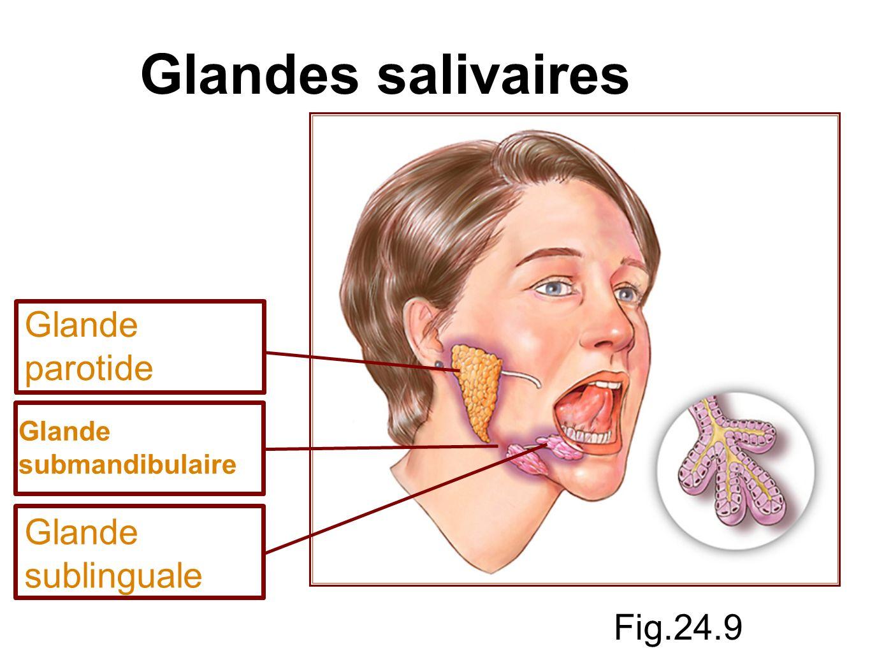 Les principales glandes salivaires sont : glandes parotides situées devant les oreilles glandes submandibulaires situées le long de la face médiane du corps de la mandibule glandes sublinguales situées devant la glande submandibulaire, sous la langue ce sont toutes des paires de glandes reliées à la cavité orale par des conduits.